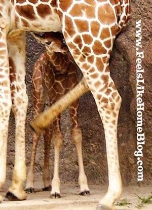 Baby Giraffe at the Philadelphia Zoo