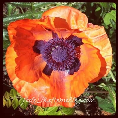 A close up of a poppy