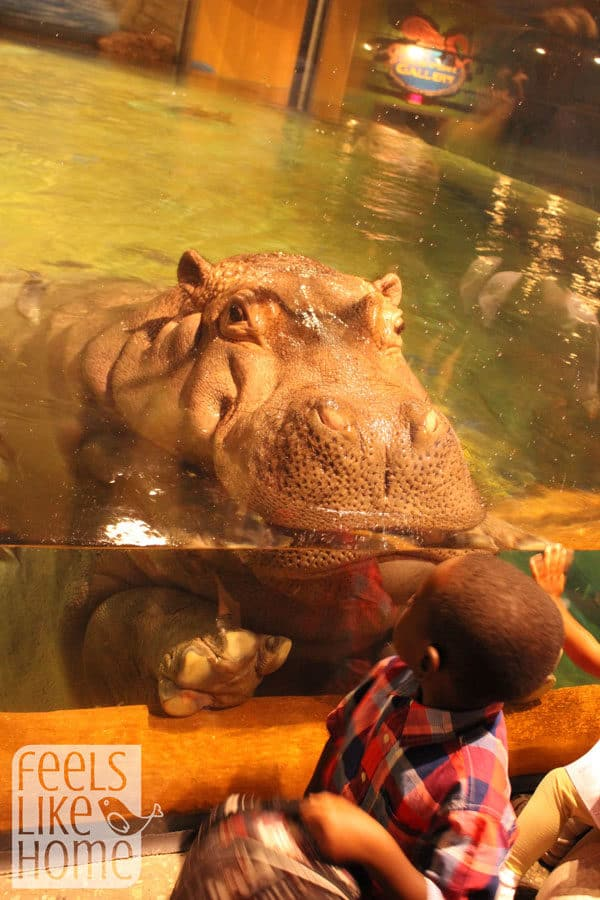 Is seeing hippos in real life on your bucket list? Check out all the things to do at Adventure Aquarium in Camden NJ. Things to do in Philadelphia with kids and families - The Adventure Aquarium is awesome and a perfect day trip from anywhere in central Pennsylvania, Maryland, Delaware, or New Jersey and a great staycation idea! Nice review.