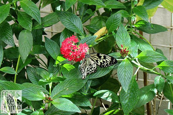 hershey-conservatory-butterfly-house