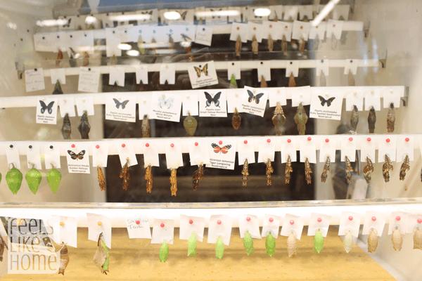 hershey-conservatory-butterfly-house-chrysalides