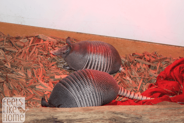 zooamerica-armadillos