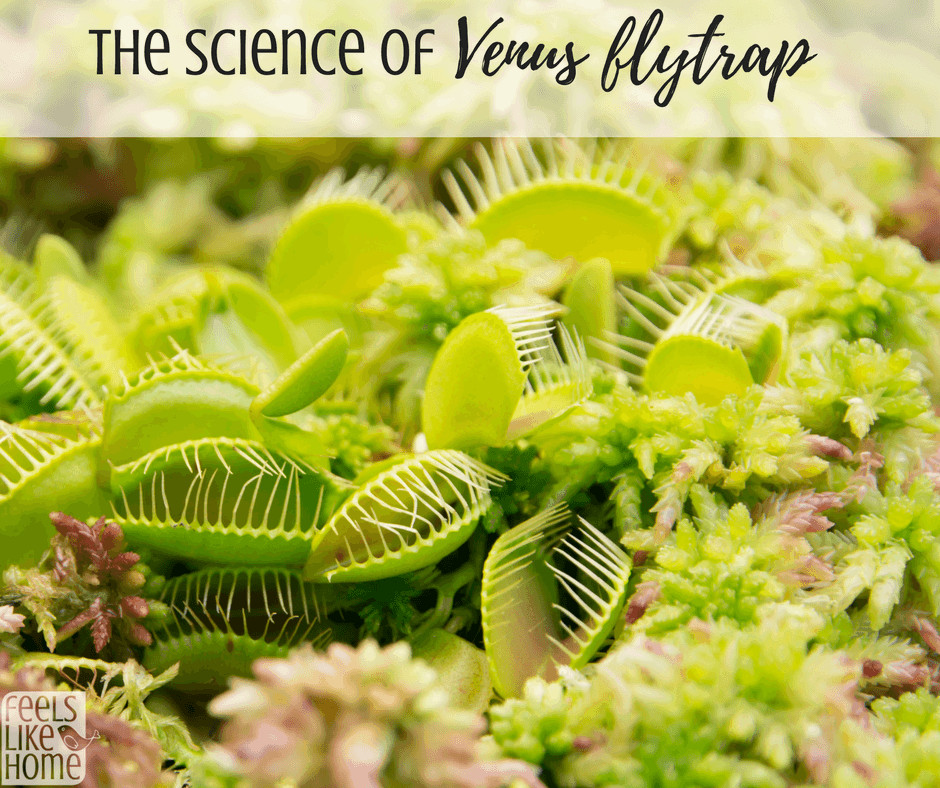 how to grow a venus fly trap - The flytrap plant is an elusive plant that can be hard to care for. Find its history and instructions for caring successfully here along with science experiments and projects to discover how it grows and works. Awesome ideas and tips.